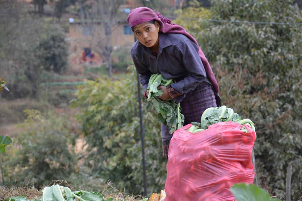 A Nepalese mountain farmer, in the scenic panityanki mountain village, packs cauliflower to send them to vegetable market in Kahtmandu, Nepal's capital. SciDev.net/Saleem Shaikh